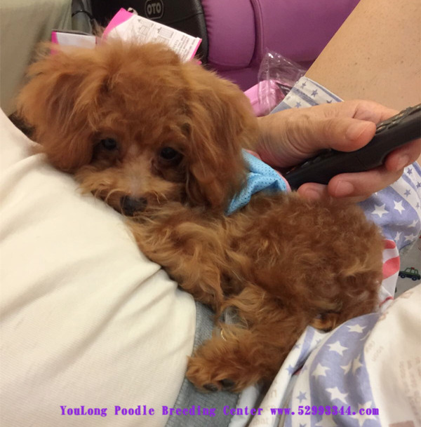 Adult poodle tiny toy