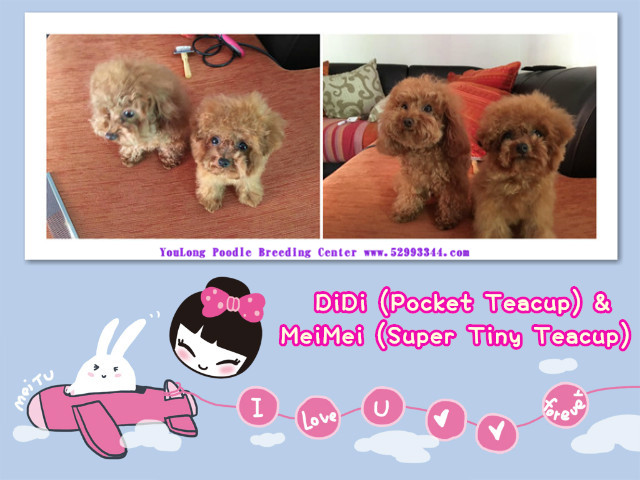 Teacup Poodle,Toy Poodles,Tiny Toys,Teacups Poodle Puppies