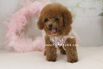 Toy poodle puppies 4 sale