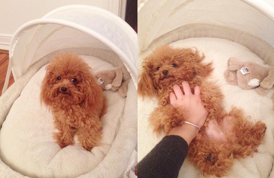 Resultado de imagen para poodle dog, scratching