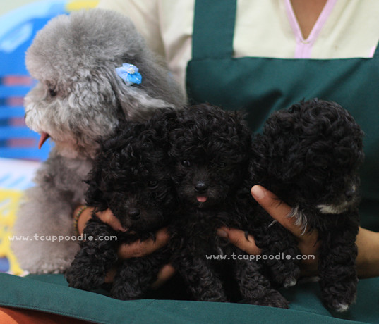 a personal examination of the old teacup poodle The poodle is a group of formal dog breeds, the standard poodle, miniature  poodle and toy  test program to miniature poodles in 2017 both the standard  and miniature were  dogs under 12 months old may be shown with a puppy  clip  poodles have black noses, eye rims and lips, black or self-coloured  toenails.